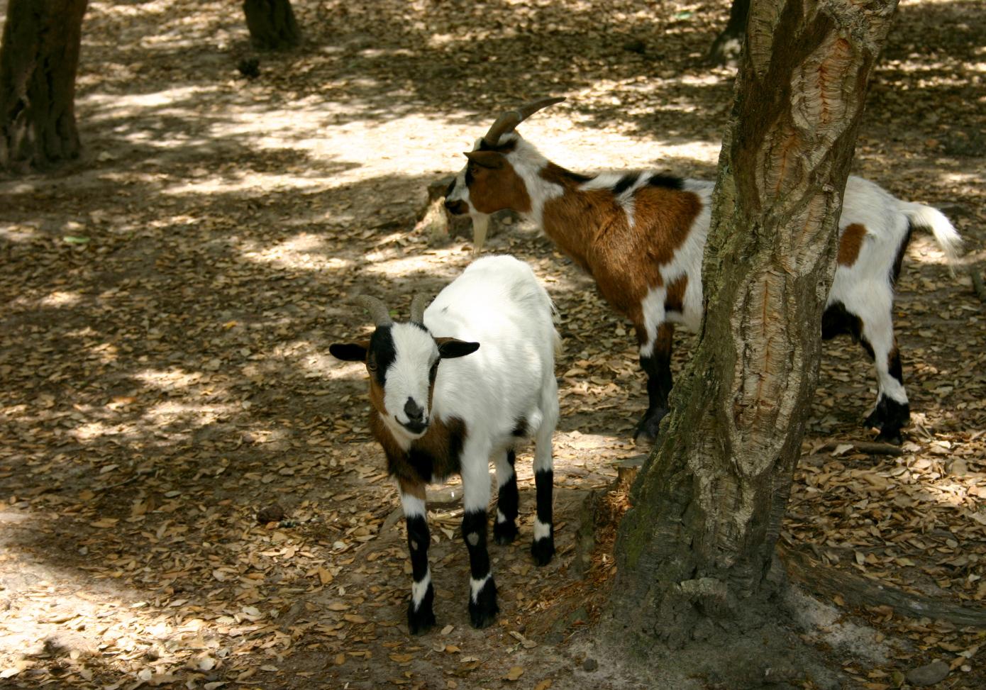 goat-1-1058416